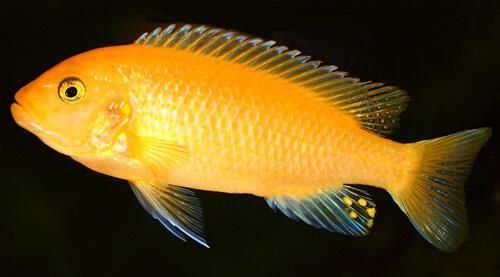 Псевдотрофеус Зебра Желтая – фото.