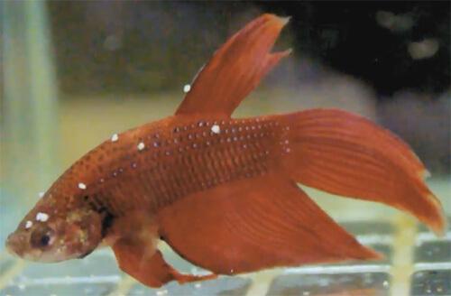 Ихтиофтириоз или Белые пятна на рыбе.