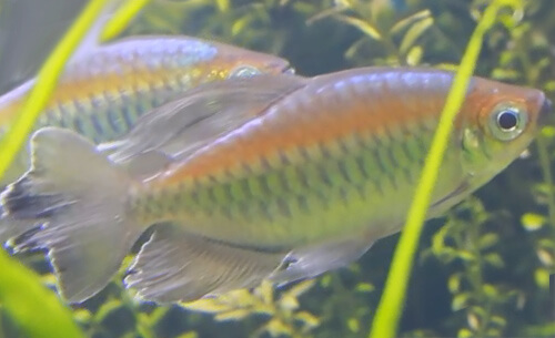 Конго Тетра – шикарная харациновая рыбка.