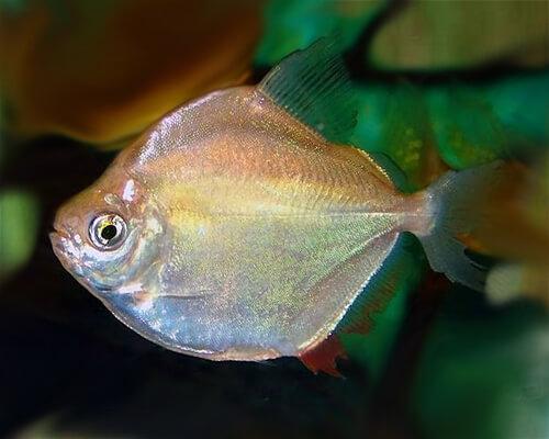 Рыба Серебряный Доллар или Метиннис Серебристый.