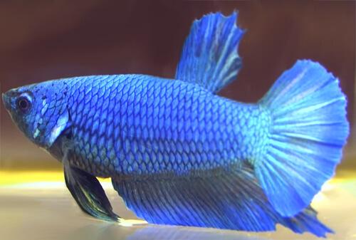 Рыбка Бетта - фото.