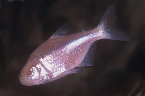 Пещерная Слепая Рыба или Астианакс – фото.