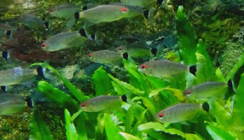 Содержание рыбки Филомены в аквариуме.