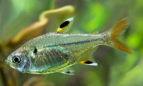 Тетра Пристелла – аквариумная рыбка.