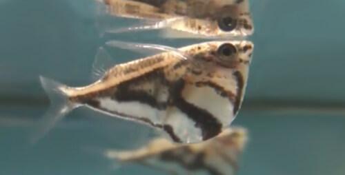 Карнегиелла Мраморная или Рыба-топорик мраморная.
