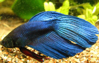 Королевский синий (Royal Blue) Петушок