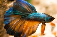 Петушок Бирюза (Turquoise)