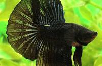 Петушок Черное кружево (Black Lace)
