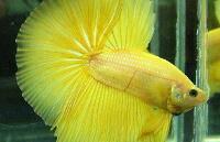Петушок Желтый (Yellow)