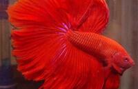 Расширенный Красный (Extended Red) Петушок
