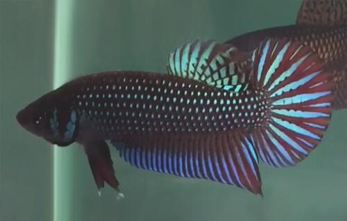 Петушки Махачай или Бойцовые рыбки Махачай.