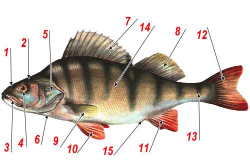 Анатомия рыбы - строение тела рыбы на примере речного окуня.