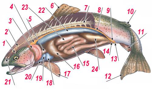 Общая анатомия рыбы.