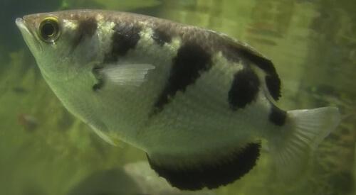 Брызгун или Рыба-Брызгун.