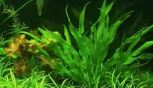 Условия содержание аквариумного растения Эхинодоруса Амазонского.