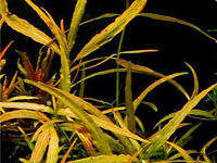 "Гигрофила многосемянная ""Цейлон"" (научн. Hygrophila polysperma ""Ceylon"")"