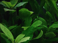 """Гигрофила """"сиамская"""" (научн. Hygrophila corymbosa """"siamensis"""")"""