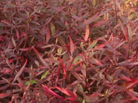 "Гигрофила красная (научн. Hygrophila species ""Red"")"
