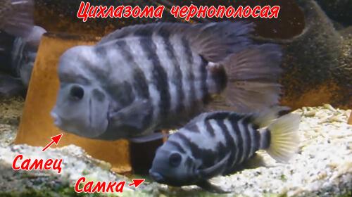 Цихлазома чернополосая - размножение и уход за мальками.