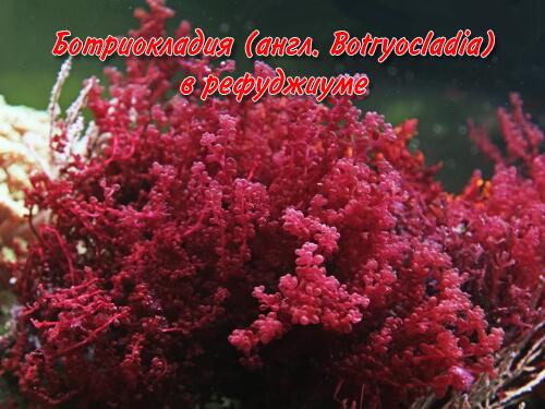 Ботриокладия (англ. Botryocladia) в рефуджиуме.