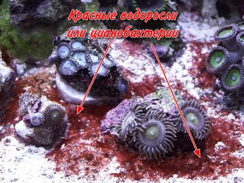 Красные водоросли или цианобактерии в морском аквариуме.