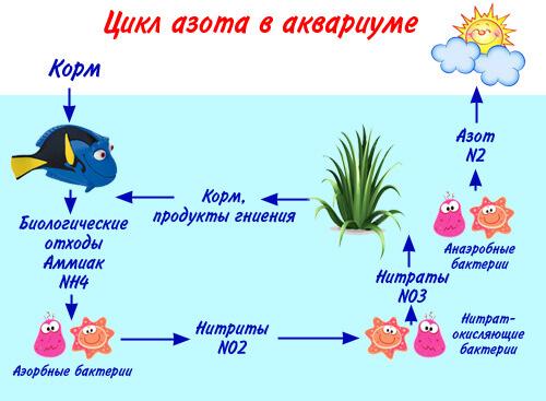 Аквариум для начинающих. Запуск аквариума. Цикл азота в аквариуме.