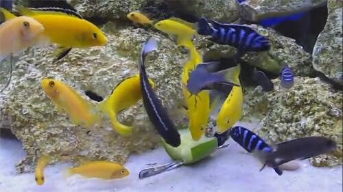 Кормление аквариумных рыбок.
