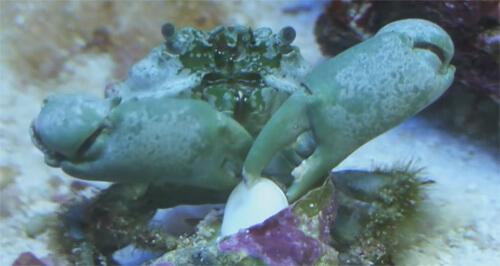Содержание Изумрудного краба в морском аквариуме.
