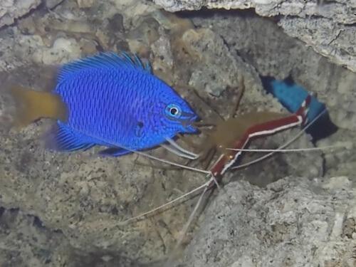 Креветка-доктор чистит рыбок - фото.