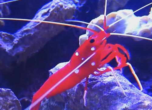 Содержание Креветки-доктора Кардинал в морском аквариуме.