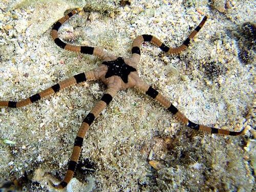 Офиура суперба или Офиура офиолепис полосатая. Содержание хрупкой морской звезды.