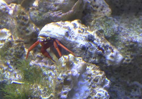 Содержание раков-отшельников в морском аквариуме.