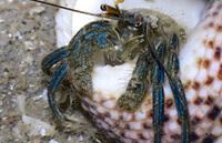 Сине-полосатый рак-отшельник