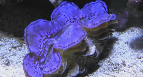 Содержание моллюска Тридакны максимы в аквариуме.