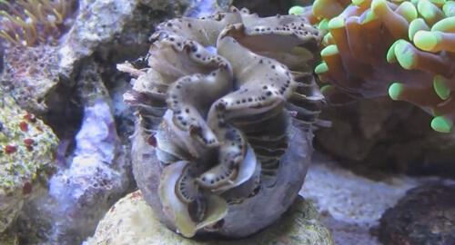 Тридакна максима в морском  аквариуме.