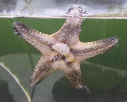 Содержание морской звезды Протореастер шоколадной.