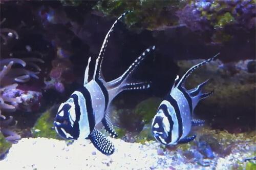 Апогон тюлевый или рыбка Кардинал Бангай.