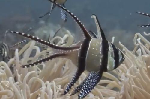 Птерапогон каудерна (научн. Pterapogon kauderni)
