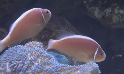 Рыба-клоун Розовый Скунс.