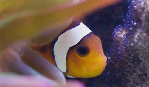 Общая информация о содержании и размножении рыб клоунов.