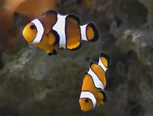 Рыба Клоун Оцеллярис.