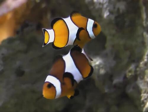 Содержание рыб клоунов.