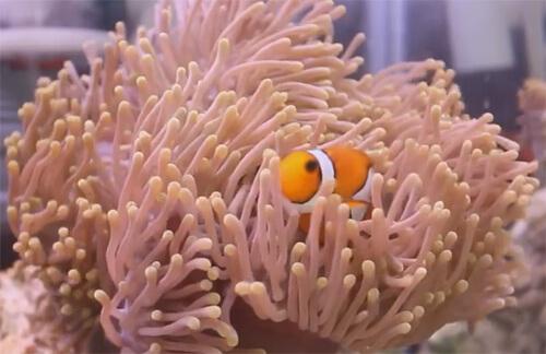 Раба-клоун и актиния. Совместимость рыб-клоунов с актиниями.